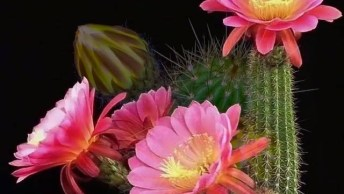 Flores De Cactos Se Abrindo Em Câmera Rápida, Veja Como São Maravilhosas!