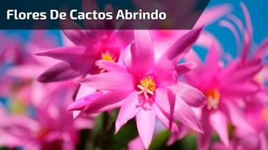 Flores De Cactos Se Abrindo Em Câmera Rápida, Veja Que Lindas!