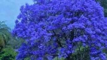 Ipês Uma Árvore Belíssima Que Existe Por Todo País, De Várias Cores!