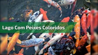 Lago Cheio De Peixes Coloridos, Uma Linda Criação Da Natureza!