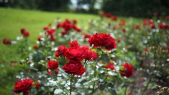 Lindas Rosas Vermelhas Em Jardim, Impossível Não Se Apaixonar!