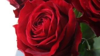Lindas Rosas Vermelhas, Impossível Não Se Apaixonar Pela Beleza Desta Flor!