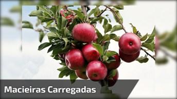 Macieiras Recheadas De Maçãs, Mais Um Milagre Da Natureza!