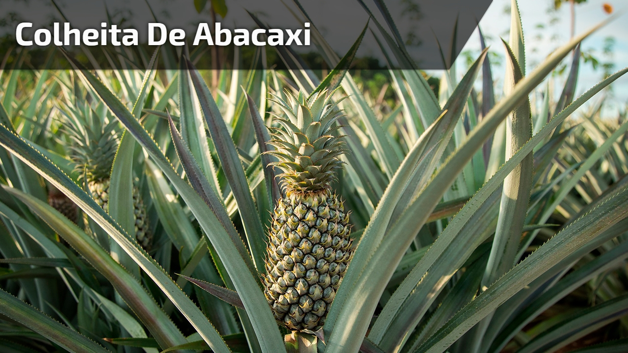 Colheita de abacaxi