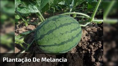 Plantação De Melancia, Veja Que Linda Frutas Direto Do Pé!