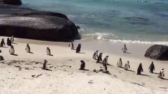 Praia Na Africa Do Sul Com Pinguins Que Estavam Passando Por Ali!