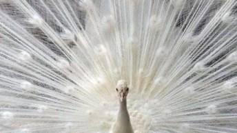 Que Criaturas Fantásticas! Veja Estas Imagens De Pavões, É Lindo Demais!
