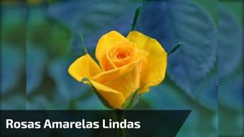 Rosas Amarelas Lindas, Como É Bom Apreciar Nossa Maravilhosa Natureza!