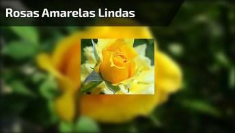 Rosas Amarelas Lindíssimas! Deus É Maravilhoso, Como São Bonitas!