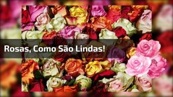 Rosas, Como São Lindas! Seja Vermelha, Lilás, Amarela, Coral, Champanhe!