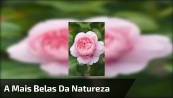 Rosas Cor De Roa, Uma Das Mais Belas Flores Da Natureza! Como São Lindas!