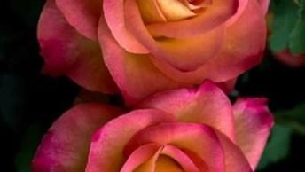 Rosas Lindas! Veja Esta Preciosidade Da Natureza, Que Encanta E Perfuma A Todos!