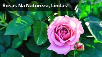 Rosas Uma Mais Linda Que A Outra, Não Da Para Escolher Somente Uma, Todas Belas!