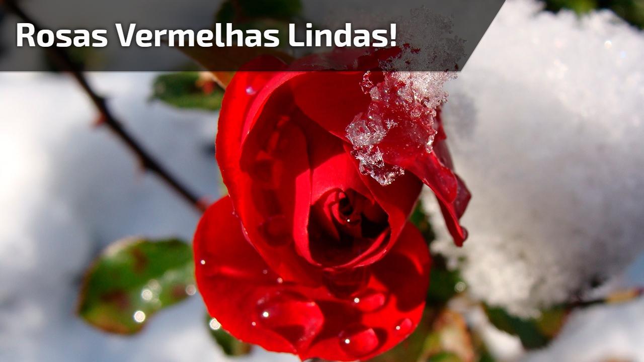 Rosas vermelhas Lindas!
