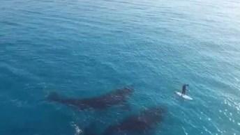 Surfista Nadando Em Alto Mar Com Duas Baleias, Simplesmente Magnifico!