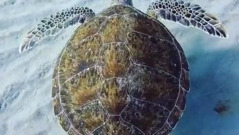 Tartaruga Marinha Nadando Tranquilamente, A Natureza É Magnifica!