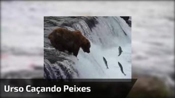 Urso Caçando Peixes, A Natureza É Espetacular Em Cada Uma Das Especieis!