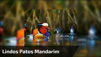 Vejam Os Patos Mandarim, Parecem De Mentira, Pintados A Mão!
