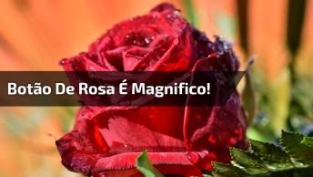 Vídeo Com Botão De Rosa Se Abrindo, A Natureza É Maravilhosa!