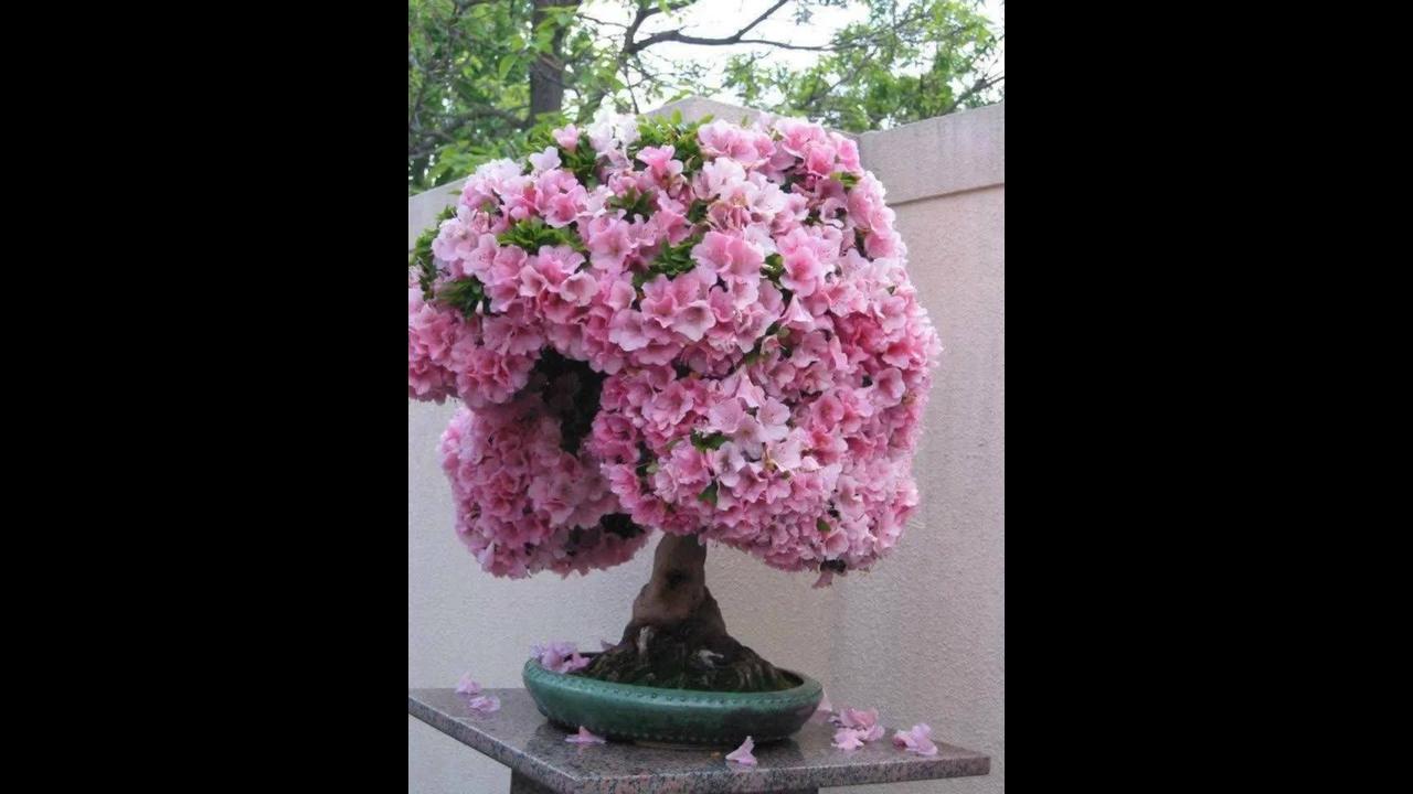 Vídeo com fotos de bonsais com flores, olha só que coisa mais linda!!!