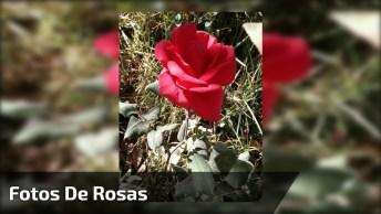 Vídeo Com Fotos De Lindas Rosas, É Uma Mais Linda Que A Outra!
