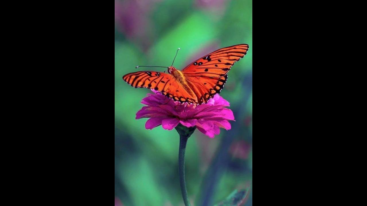 Vídeo com imagens de lindas de borboletas pousadas nas flores na linda natureza!