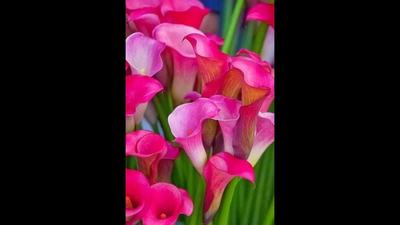 Vídeo com lindas flores rosas! Cada uma com sua beleza e forma unica!!!