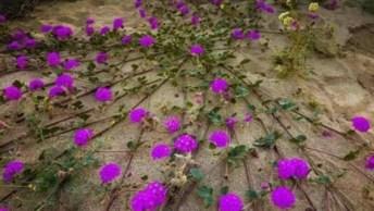 Vídeo Com Lindas Fotos De Campos Floridos, Um Espetáculo Da Natureza!