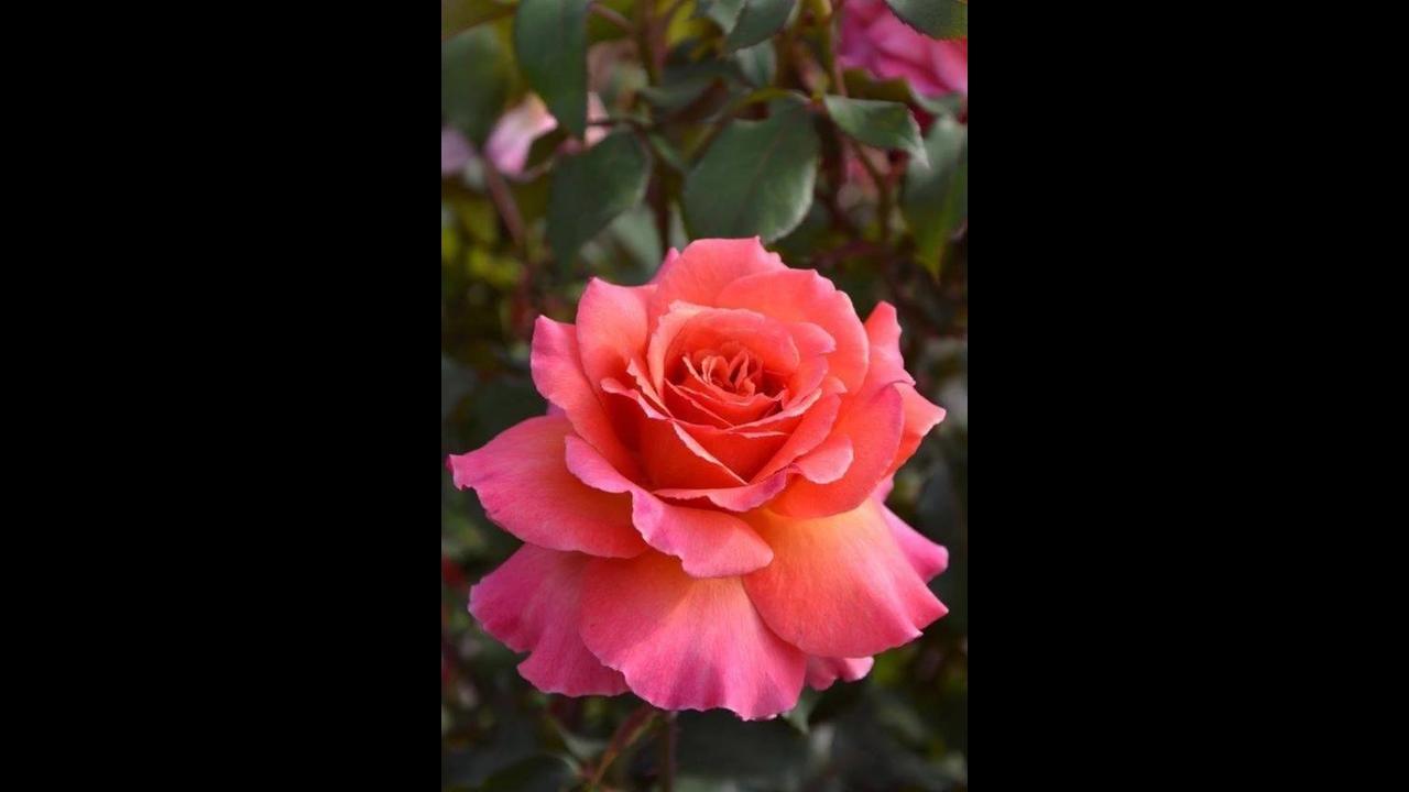 Vídeo com lindas fotos de rosas