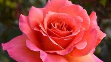 Vídeo Com Lindas Fotos De Rosas, Cada Uma Com Sua Particularidade E Cor!