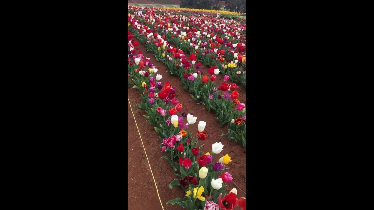 Vídeo com lindo campo de tulipas