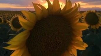 Vídeo Com Lindo Pôr Do Sol Em Um Campo De Girassóis, Natureza Espetacular!