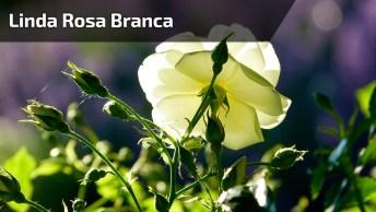Vídeo Com Uma Linda Rosa Branca, Ela Que Simboliza A Pureza!