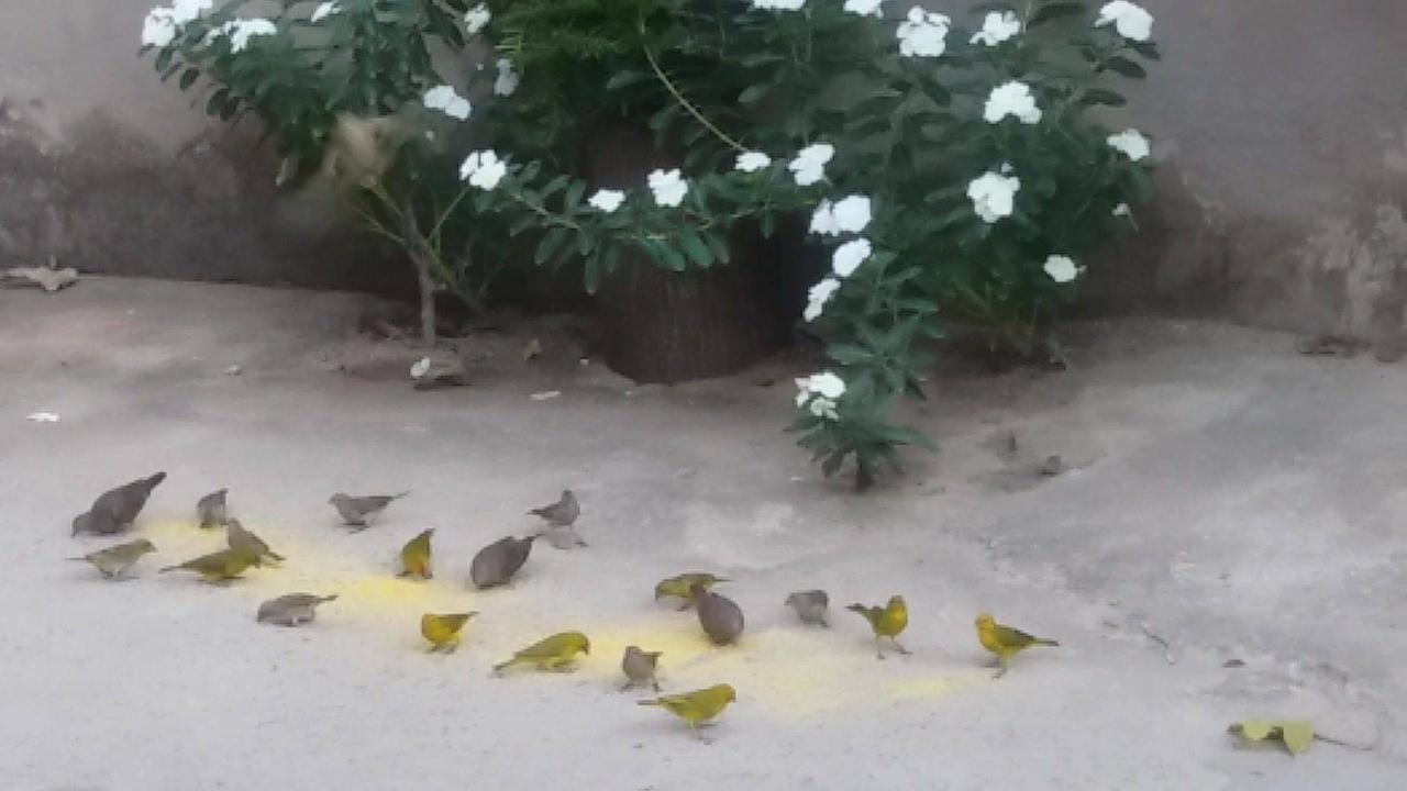 Vídeo de passarinhos comendo no quintal