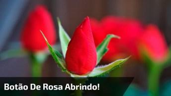 Vídeo Em Câmera Rápida De Rosa Se Abrindo, Veja Que Lindas Imagens!