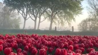 Vídeo Mostrando As Maravilhosas Tulipas Na Holanda, Veja A Quantidade De Flores!