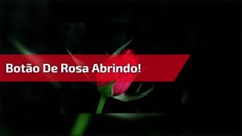 Vídeo Mostrando Botão De Rosa Abrindo E Câmera Lenta, Coisa Mais Linda!