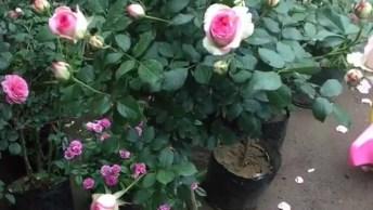 Vídeo Mostrando Lindos Botões De Rosas, Com Certeza Você Vai Se Apaixonar!