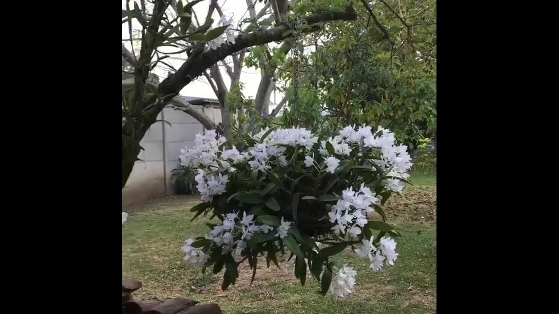 Vídeo mostrando orquídeas na arvore