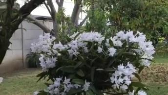 Vídeo Mostrando Orquídeas Na Árvore, Olha Só Que Coisa Mais Linda!