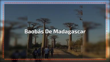 Vídeo Mostrando Os Majestosos Baobás De Madagascar, Olha Só Que Incrível!