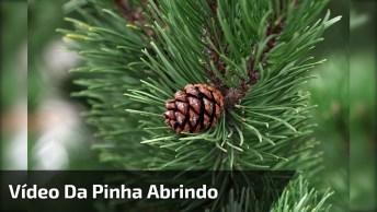 Vídeo Mostrando Pinha Abrindo Caindo Semente E Brotando, Muito Lindo Confia!