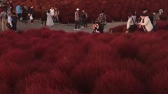 Vídeo Mostrando Um Pouquinho Do Hitachi Seaside Park No Japão!