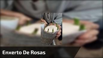 Vídeo Mostrando Várias Formas De Enxerto De Rosas, Veja Que Lindas!