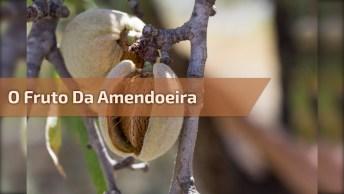 Você Conhece O Fruto Da Amendoeira? Se Não Veja Este Vídeo Mostrando Um!