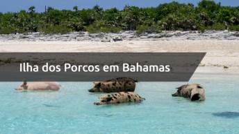 Ilha Dos Porcos Em Bahamas, Eles Adoram Receber Os Turistas!