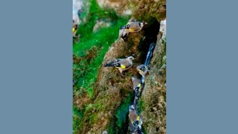 Lindos Pássaros Matando A Sede Em Filete De Água - Muito Lindo!