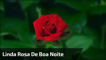 Linda Rosa De Boa Noite. Muito Bonito O Momento Em Que Ela Se Abre!