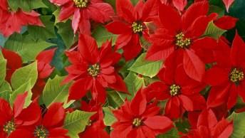 Dia 12 De Dezembro É Dia Da Poinsettia - Plante Uma Poinsétia Neste Dia!
