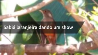 Sabiá Laranjeira Dando Um Show De Cantoria, Que Animal Mais Lindo!
